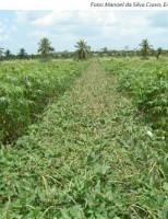 Como se produzir mandioca no semiárido usando o sistema agroecológico