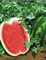 A melancia pode ser cultivada em terra firme ou em várzeas
