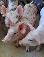 Organização Mundial da Saúde Animal reconhece estados brasileiros como zonas livres da peste suína