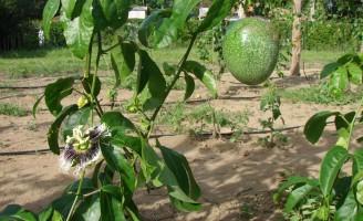 Pequenas áreas podem render um bom lucro com o cultivo do maracujá