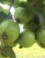 Produtores do cerrado terão palestras para orientar sobre produção de uva e goiaba