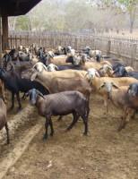 A importância de controlar a verminose em rebanhos de caprinos e ovinos.