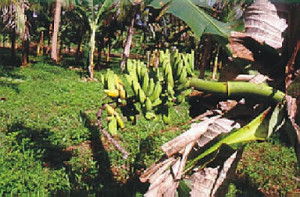 doencas da banana6