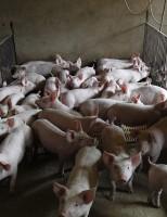 Projeto que vai fazer um diagnóstico da produção de suínos no Brasil visita o maior produtor nacional