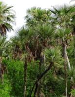 Pesquisadores descobrem árvores de uma palmeira considerada extinta no Brasil