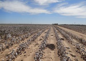 algodão - lavoura