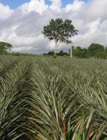 A cultura do abacaxi no semiárido baiano