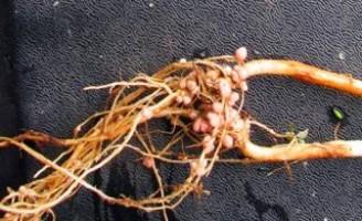 Rotação de culturas ajuda a combater pragas em hortaliças