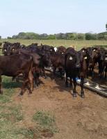Veja como fazer o controle da verminose no rebanho bovino