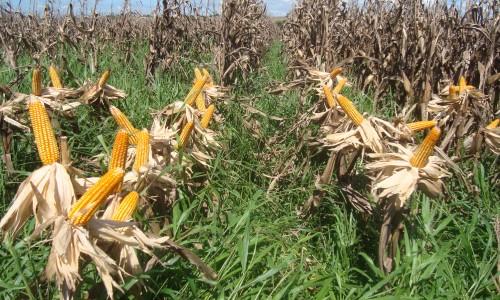 """<h2><a href=""""http://nordesterural.com.br/um-pasto-mais-rico-com-o-consorcio-de-milho-e-de-braquiaria/"""">Um pasto mais rico com o consórcio de milho e de braquiária</a></h2>O consórcio de milho e braquiária para produção de pasto é uma boa alternativa para o produtor que produz milho na safrinha. Com esse consórcio, produz-se, em uma mesma área,"""