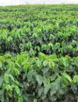Os maiores produtores mundiais de café fazem as contas da produção na safra 2017-2018