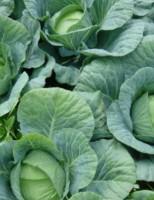 Nova tecnologia ajuda a reduzir o uso de defensivos agrícolas em plantações de hortaliças