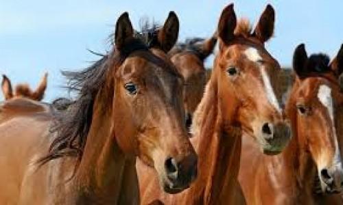 """<h2><a href=""""https://nordesterural.com.br/cuidados-recomendados-para-imunizar-os-cavalos/"""">Cuidados recomendados para imunizar os cavalos</a></h2>Ao longo do ano, os cavalos precisam de cinco vacinas para se manterem protegidos. Constantemente esses animais são expostos a diversos agentes infecciosos que transmitem uma série de doenças. Por"""