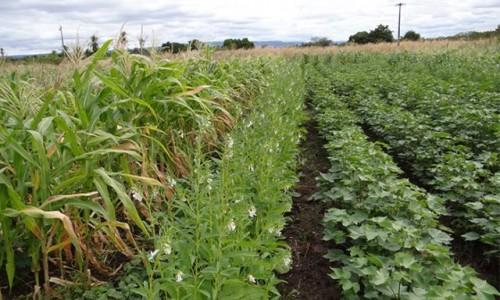 """<h2><a href=""""https://nordesterural.com.br/experiencia-de-agricultores-e-tecnicos-valoriza-o-cultivo-de-algodao-em-consorcios-agroecologicos/"""">Experiência de agricultores e técnicos valoriza o cultivo de algodão em consórcios agroecológicos</a></h2>O plantio do algodão em consórcio agroecológico é uma questão importante para os agricultores familiares que desejam produzir com qualidade para o comércio justo e para a sua saúde, além"""