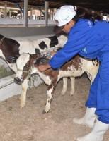 Atenção especial dos pecuaristas para o início da segunda etapa de vacinação contra aftosa