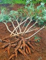 O produtor rural pode aproveitar os ramos e folhas da mandioca para alimentar o gado