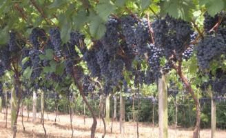 Nordeste se destaca na produção de suco de uva de qualidade