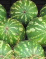 Pesquisadores lançam publicação para ajudar na identificação de doenças fúngicas da melancia
