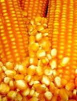 Exportações de milho brasileiro batem recorde no mês de agosto