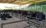 OS búfalos no Estado de Pernambuco: Décadas de História
