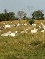 O jeito correto para se controlar a verminose em bovinos