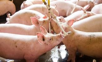 O produtores brasileiros de suínos vendem mais 13,2% em novembro