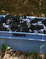 Serra Gaúcha, no verão,  estimula turismo para ver a colheita da uva