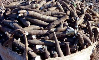 Uma variedade de mandioca que produz mais raízes e amido