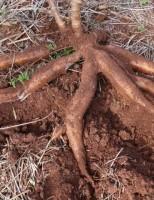 Todas as regiões brasileiras são boas para plantação da mandioca