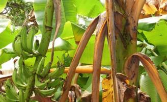 Importantes orientações para o cultivo da banana em várias regiões do Brasil
