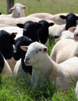 Um novo sistema de comercialização impulsiona as vendas de ovinos
