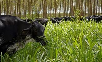 Fazendas que usam o sistema pasto/floresta reduzem emissão de gás de efeito estufa
