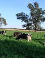 Um importante componente para a alimentação das vacas leiteiras