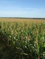Produtividade do milho na região sul foi prejudicada por conta das mudanças climáticas