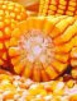 Milho tem boa produtividade e anima agricultores para novos investimentos