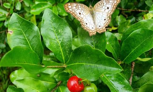 """<h2><a href=""""https://nordesterural.com.br/a-borboleta-na-acerola/"""">A Borboleta na acerola</a></h2>Depois de vagar por muitos jardins e florestas, a bela borboleta repousa nas folhas verdes do pé de acerola. Um momento inspirador da lente curiosa da internauta Nina Maia. O"""