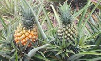 As melhores terras para plantar abacaxi em Pernambuco