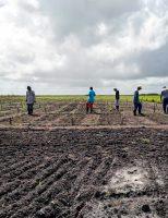 Novas áreas do Nordeste estão sendo testadas para produção de trigo
