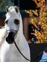 O criatório do Cavalo Árabe no Brasil se destaca internacionalmente