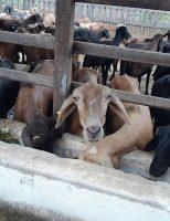 Ovinos alimentados corretamente emitem menos gases do efeito estufa no semiárido