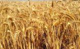 O Nordeste começa a plantar trigo e pela primeira vez a colheita é promissora