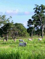 Conservar sombra nas pastagens favorece o bem-estar dos animais