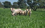Novas sementes de forrageiras para engordar mais o boi no pasto