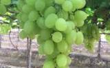 Um fato inédito: O mercado brasileiro ganha a primeira uva 100% Nordestina