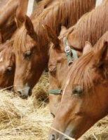 Os cavalos também podem ser acometidos de úlceras gástricas