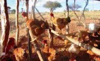Criação de galinha com uso de tecnologia pode ampliar a renda do pequeno agricultor
