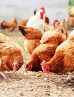Como proteger as granjas com aves e humanos da contaminação pela gripe aviária
