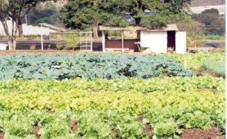 As plantações de hortaliças podem ser protegidas contra as pragas com controle biológico