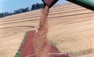 O brasileiro está consumindo mais trigo depois da pandemia e o isolamento para combater o coronavirus