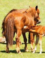 Cuidados com as éguas no período da reprodução